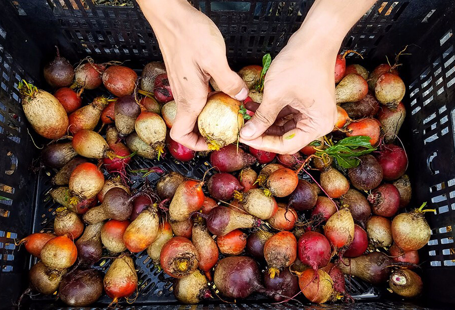 A pair of hands removes the leafs of a beet over a crate of orange, pink, and purple beets of all shapes and sizes.